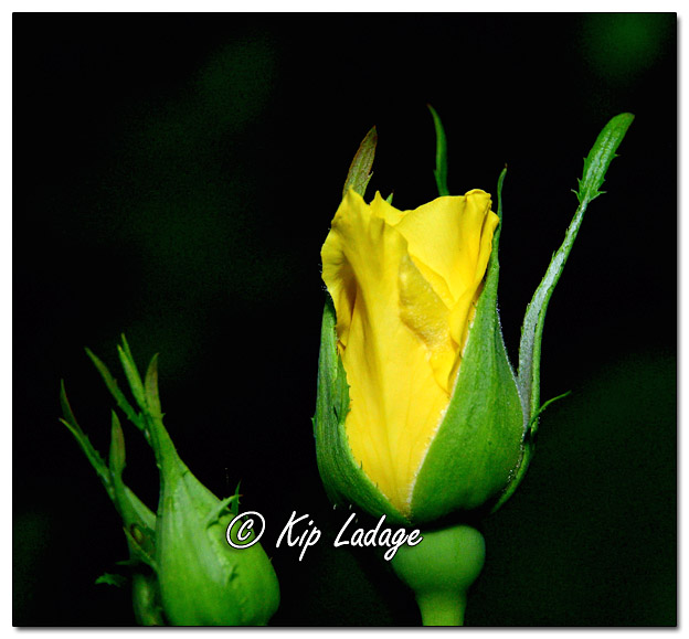 Yellow Rose - Image 643021 (© Kip Ladage)