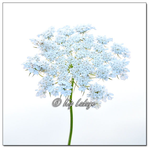 High-key Queen Anne's Lace - Image 647148 (© Kip Ladage)