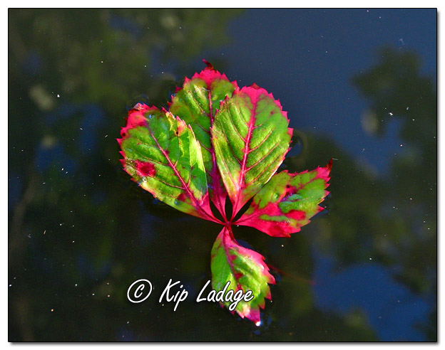 Red and Green Virginia Creeper Leaves - Image 649502 (© Kip Ladage)