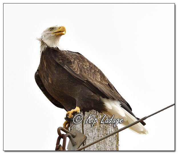 Adult Bald Eagle on Utility Pole - Image 655376 (© Kip Ladage)