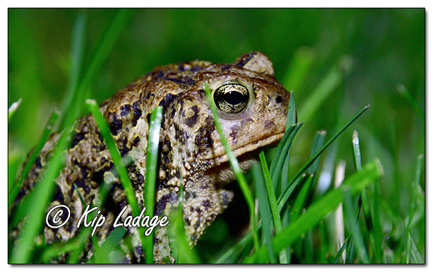 American Toad at Night - Image 654170 (© Kip Ladage)