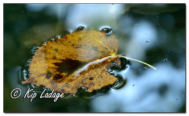Autumn Leaf on Wapsipinicon River - Image 653271 (© Kip Ladage)