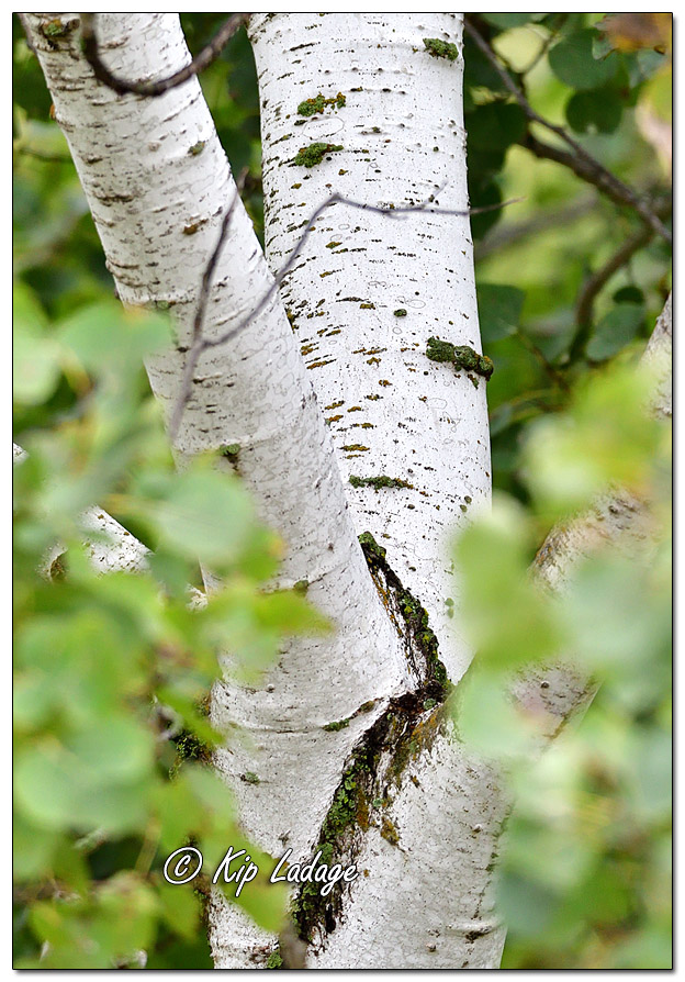 Birch Bark in Rain - Image 651412 (© Kip Ladage)