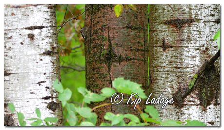 Birch Bark in Rain - Image 651418 (© Kip Ladage)