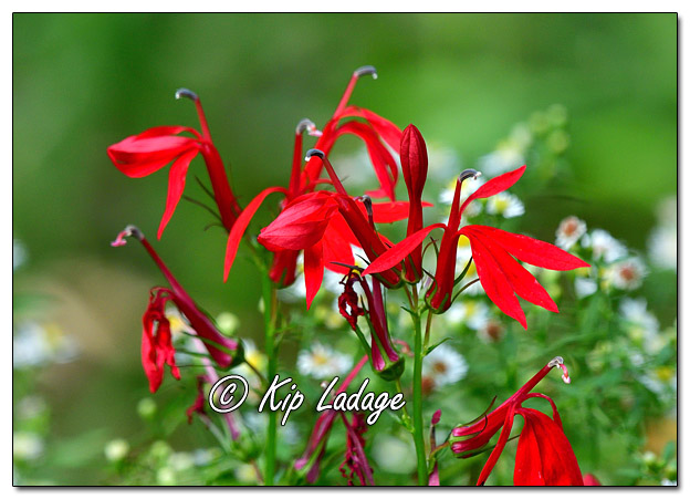 Cardinal Flower and Asters - Image 653690 (© Kip Ladage)