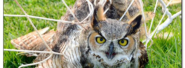 Great Horned Owl in Soccer Net - Image 653043 (© Kip Ladage)