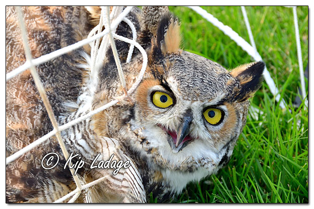 Great Horned Owl in Soccer Net - Image 653053 (© Kip Ladage)
