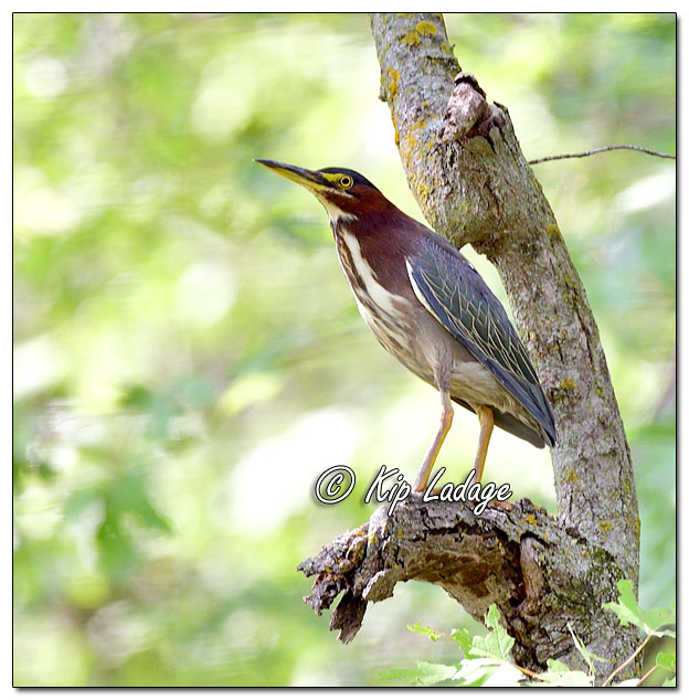 Green Heron in Tree - Image 650376 (© Kip Ladage)