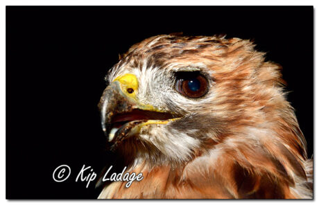 Injured Red-tailed Hawk - Image 654300 (© Kip Ladage)