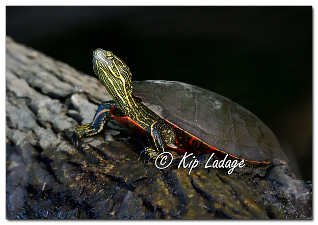 Painted Turtle on Log in Wapsipinicon River - Image 654213 (© Kip Ladage)