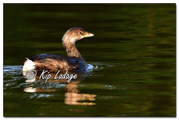 Pied-billed Grebe on Wapsipinicon River - Image 654551 (© Kip Ladage)