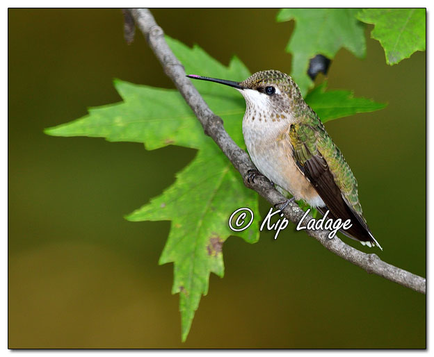 Ruby-throated Hummingbird - Image 652998 (© Kip Ladage)