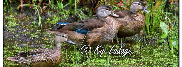 Wood Ducks and Blue-winged Teal - Image 651588 (© Kip Ladage)