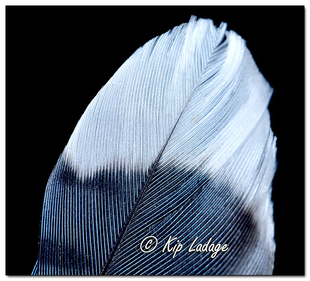 Blue Jay Feather Macro - Image 659714 (© Kip Ladage)