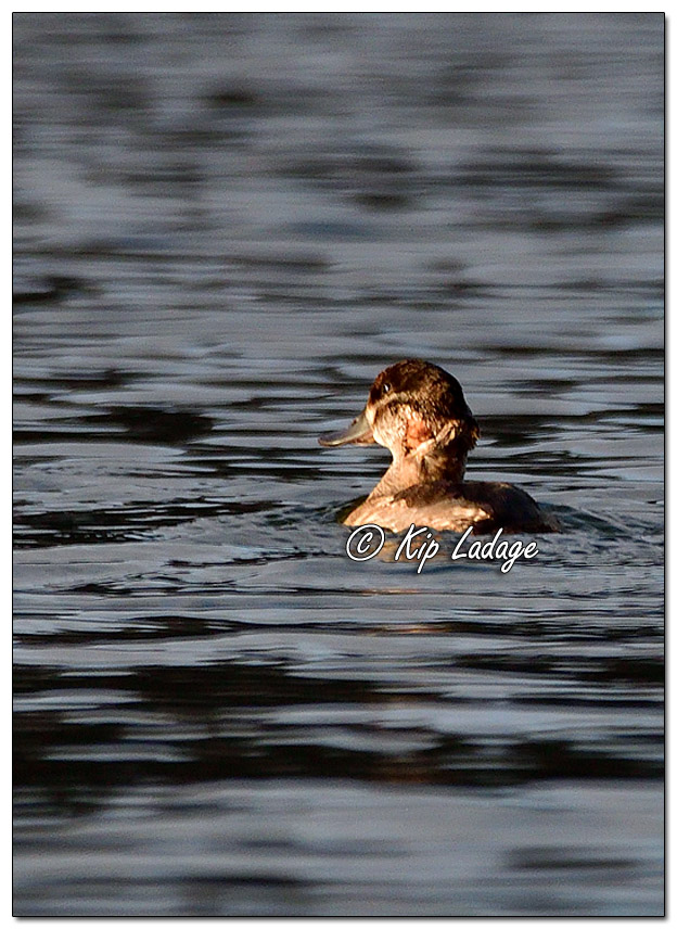 Female Ruddy Duck with Neck Injury - Image 660485 (© Kip Ladage)