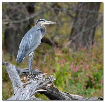 Great Blue Heron at George Wyth Lake - Image 659395 (© Kip Ladage)
