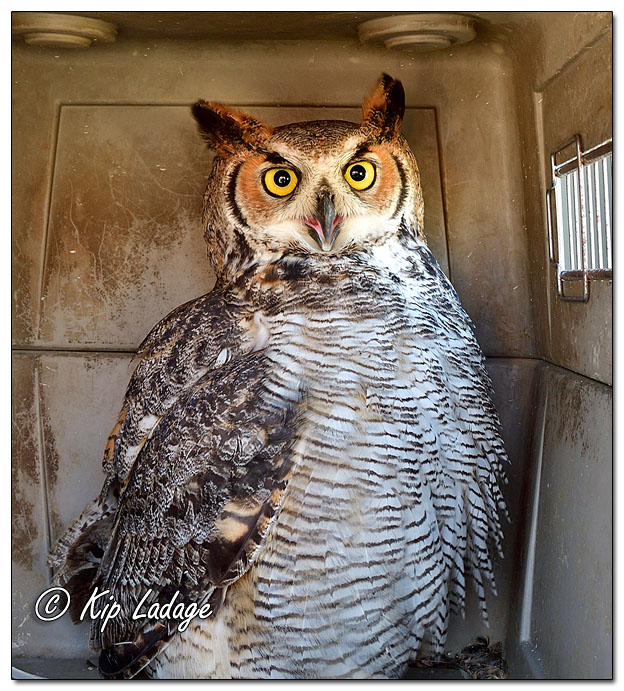 Great Horned Owl Release - Image 659341 (© Kip Ladage)