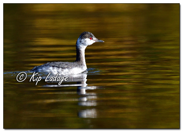 Horned Grebe in Non-breeding Plumage - Image 659825 (© Kip Ladage)