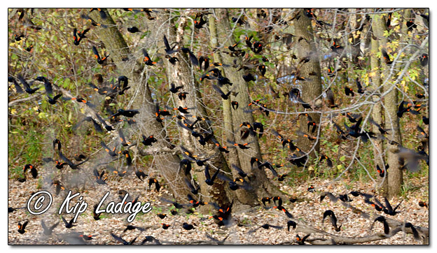 Various Blackbirds in Large Flock - Image 659588 (© Kip Ladage)