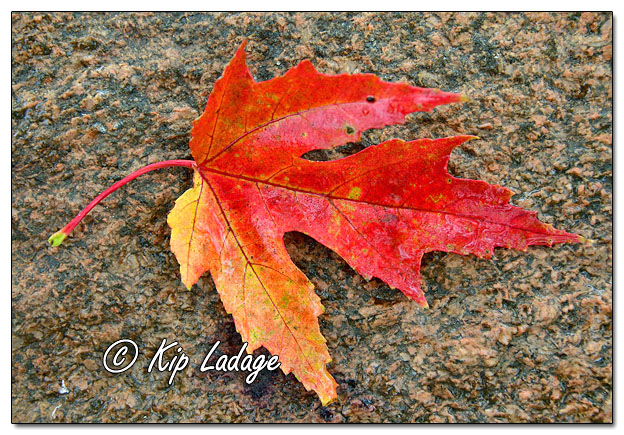 Wet Autumn Leaf - Image 659680 (© Kip Ladage)