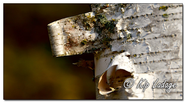White Birch Bark - Image 659237 (© Kip Ladage)