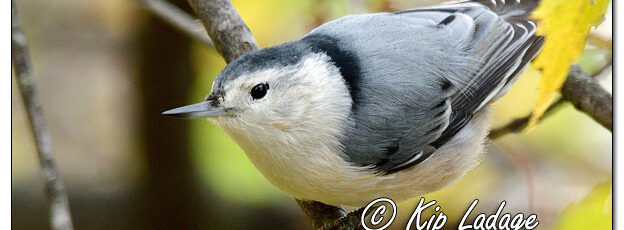 White-breasted Nuthatch in Autumn Maple Tree - Image 659712 (© Kip Ladage)