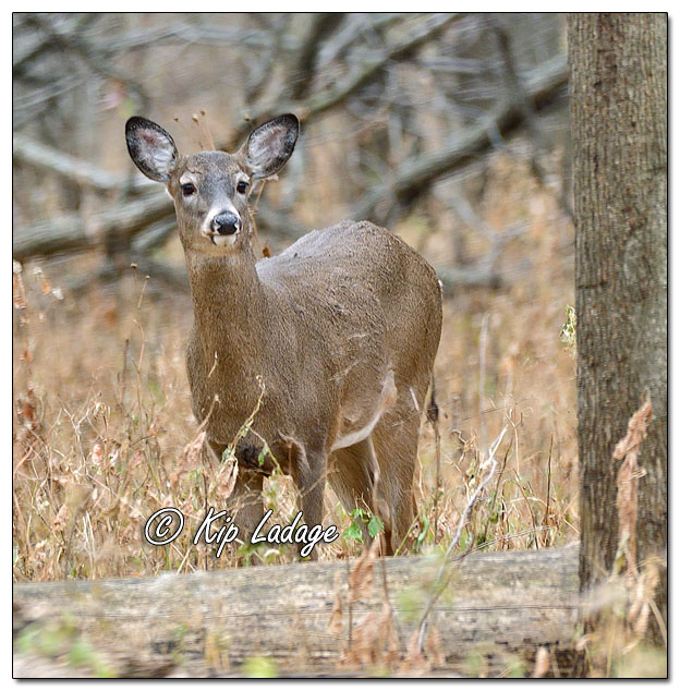 Whitetail Deer (Doe) - Image 660410 (© Kip Ladage)