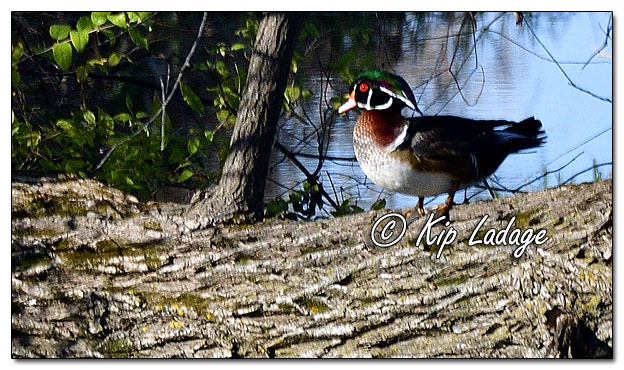 Wood Duck on Downed Tree - Image 660280 (© Kip Ladage)