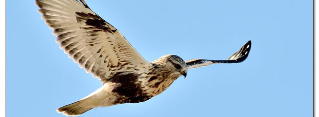 Rough-legged Hawk Hovering Over Ditch - Image 662752 (© Kip Ladage)