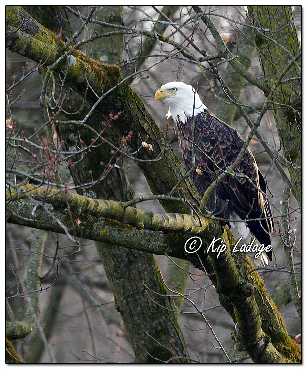 Adult Bald Eagle in Tree Along Wapsipinicon River - Image 663488 (© Kip Ladage)