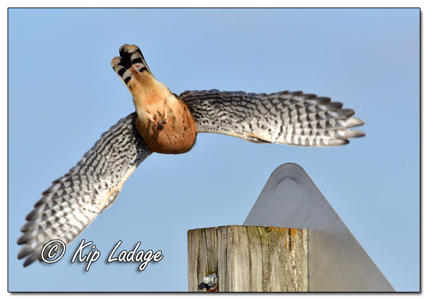 American Kestrel Taking Flight - Image 663410 (© Kip Ladage)