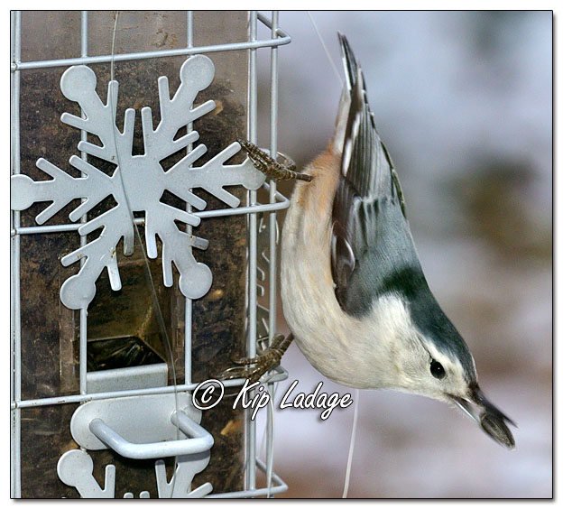 Bird Feeder with Fishing Line - Image 663396 (© Kip Ladage)