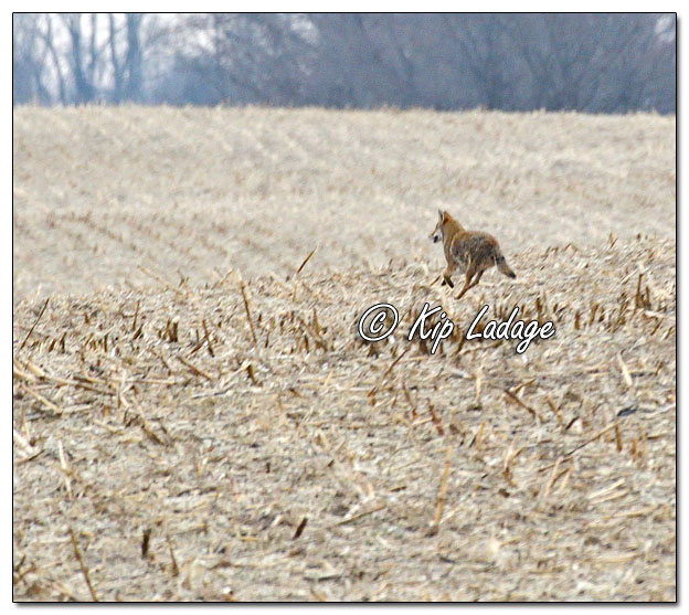 Coyote Running in Corn Stubble - Image 664735 (© Kip Ladage)