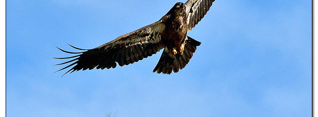 Juvenile Bald Eagle in Flight - Image 662854 (© Kip Ladage)
