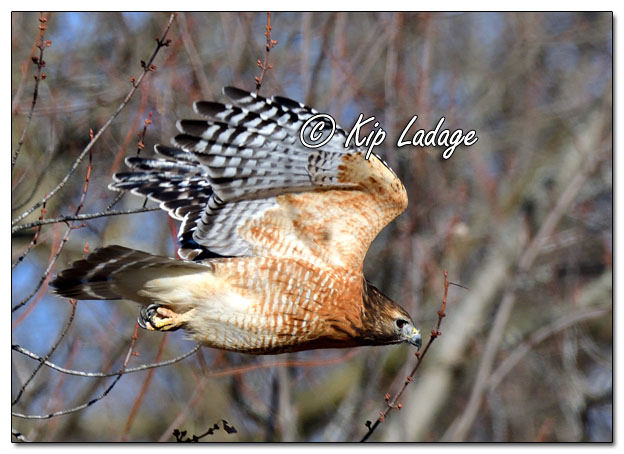 Red-shouldered Hawk - Image 665036 (© Kip Ladage)