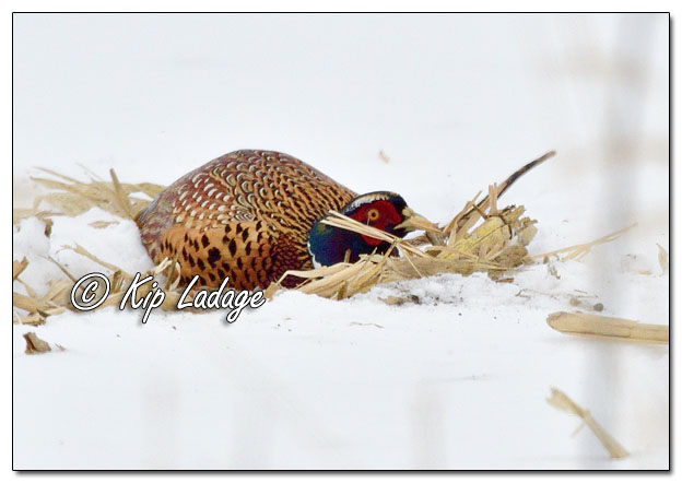 Rooster Ring-necked Pheasant Hiding in Snow - Image 665144 (© Kip Ladage)