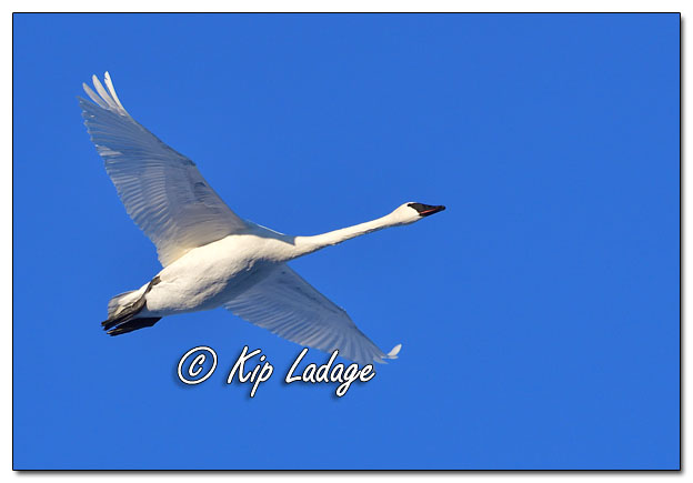 Trumpeter Swan in Flight - Image 665064 (© Kip Ladage)