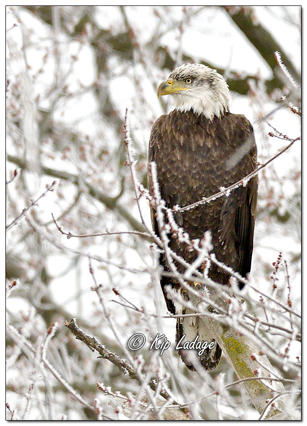Bald Eagle in Tree in Frost - Image 666005 (© Kip Ladage)