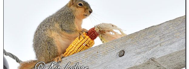 Fox Squirrel with Ear of Corn on Utility Pole - Image 667051 (© Kip Ladage)