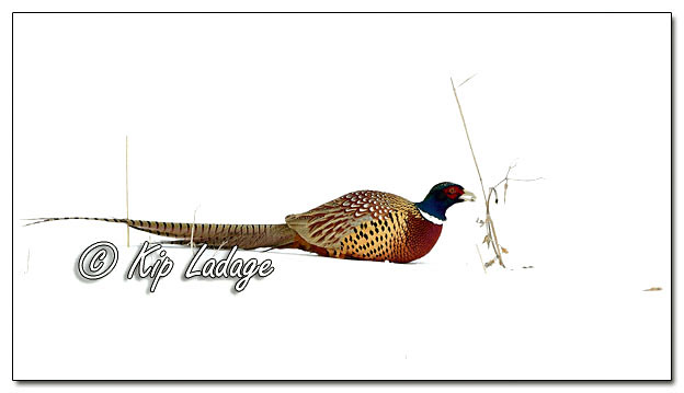 Rooster Ring-necked Pheasant in Snow - Image 672656 (© Kip Ladage)