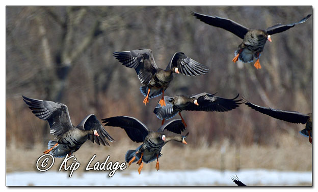 Greater White-fronted Geese - Image 675512 (© Kip Ladage)
