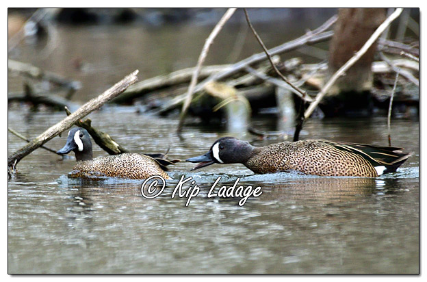 Blue-winged Teal on the Wapsipinicon River - Image 681847 (© Kip Ladage)