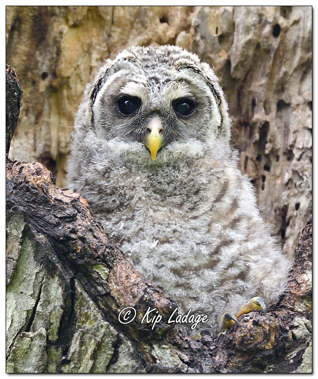 Young Barred Owl at Nest - Image 693075 (© Kip Ladage)