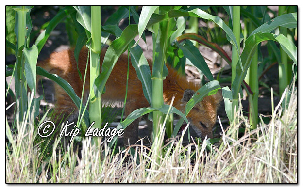 Red Fox in Ditch and Corn - Image 699883 (© Kip Ladage)