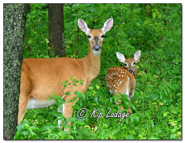 Whitetail Doe with Fawn in Timber - Image 703346 (© Kip Ladage)