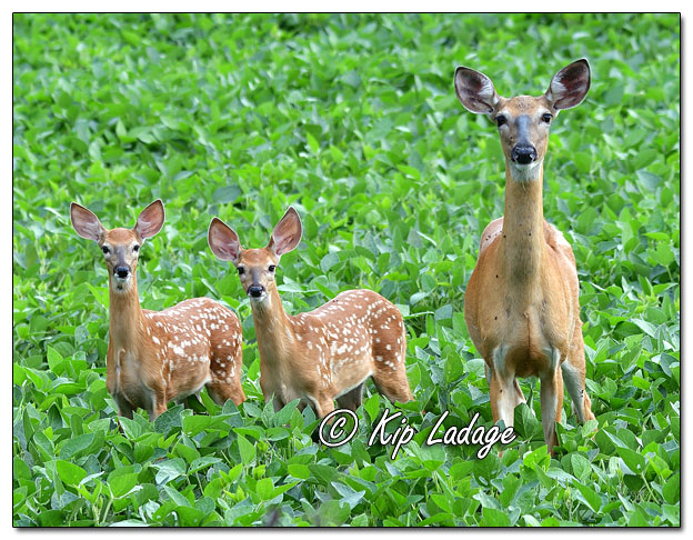 Whitetail Doe with Fawns in Soybean Field - Image 702193 (© Kip Ladage)